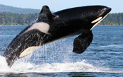 Whales & Wildlife of the San Juan Islands