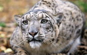 Mongolia: In Search of the Snow Leopard