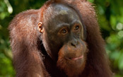 Borneo Orangutan Adventure Cruise