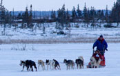 Experience the thrill of a true arctic dog sled ride!