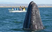 The Great Gray Whales of Baja