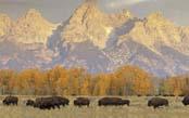 Classic Yellowstone Wildlife Safari