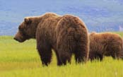 Ultimate Grizzlies: Kodiak to Katmai