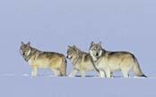 Yellowstone: Ultimate Wolf & Wildlife Safari