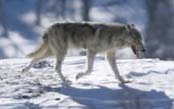 Yellowstone Wolf Quest & Photo Adventure