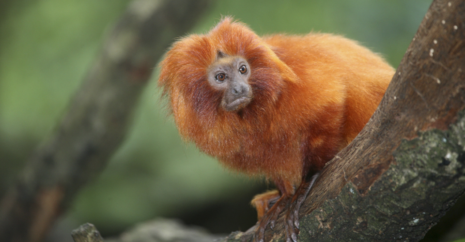 Golden Lion Tamarin Expedition in Brazil