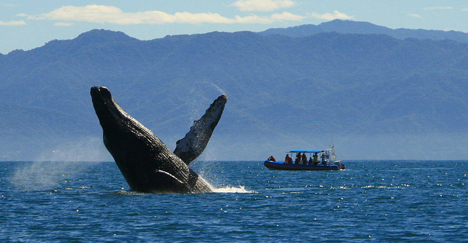 Humpback Whale Migration Qoute: Whale Watching Puerto Vallarta Excursions In Mexico