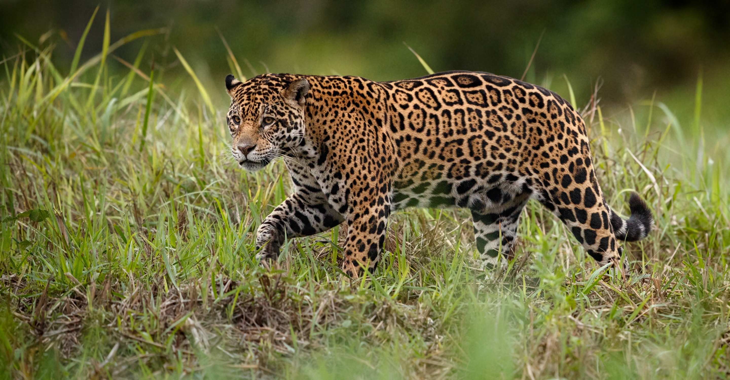 Jaguars & Wildlife of Brazil