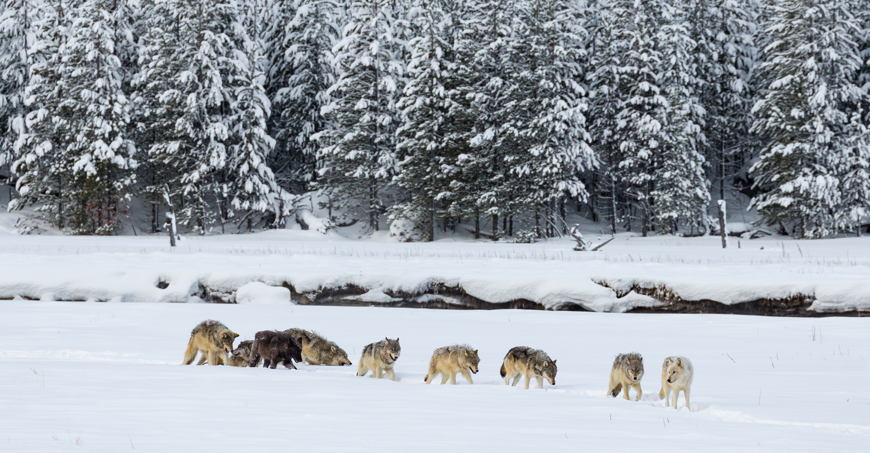 Yellowstone: Ultimate Wolf & Wildlife Safari