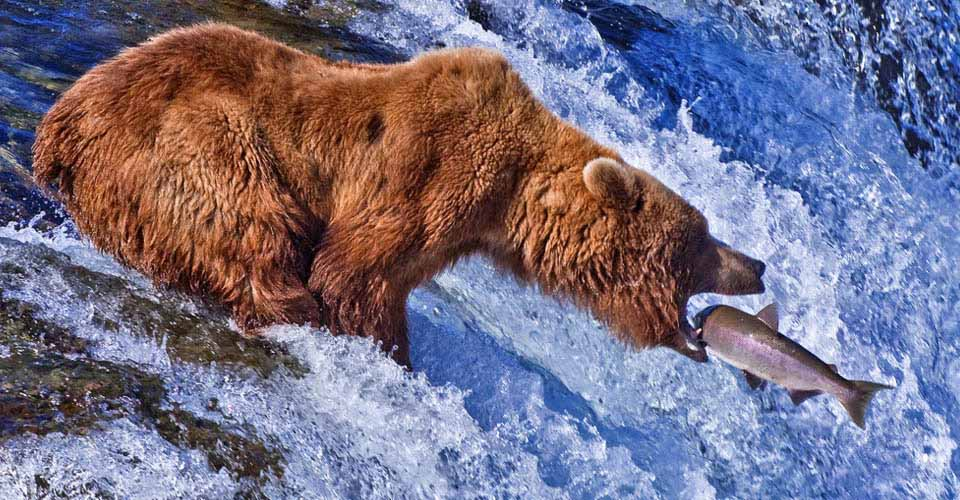 Brown bear, Brooks Falls, Katmai National Park, Alaska, USA