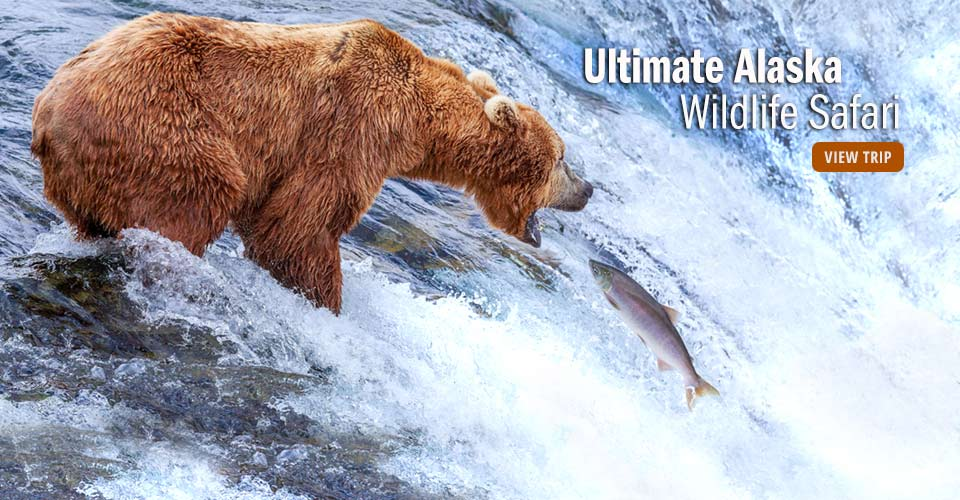 Brown bear, Brooks Falls, Alaska
