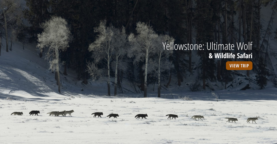 Gray wolves, Yellowstone National Park, Wyoming, USA