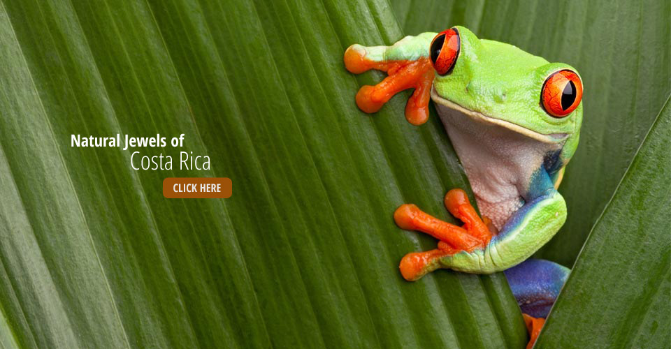 Red-eyed tree frog, Tortuguero National Park, Costa Rica