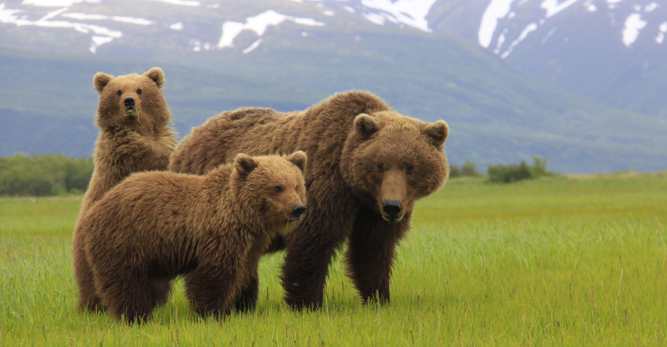 Brown bear mother and cubs, coastal Katmai, Alaska, USA