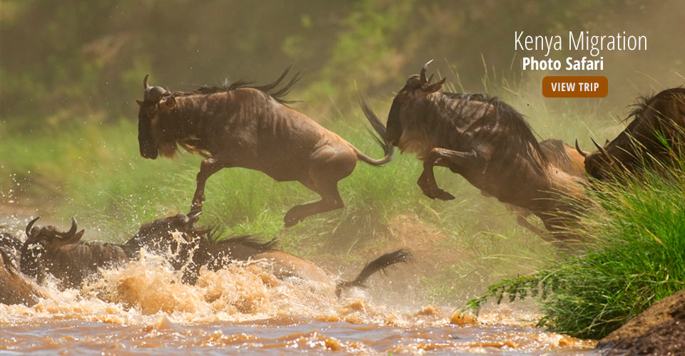 Wildebeest migration, Maasai Mara National Reserve, Kenya