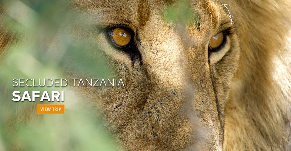 African lion, Serengeti, Tanzania