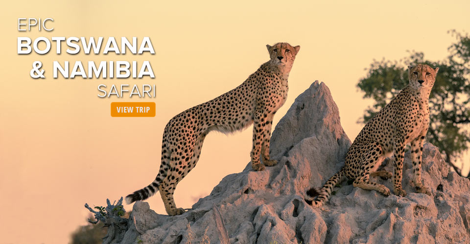 Cheetahs, Etosha National Park, Namibia