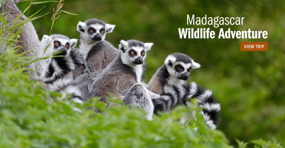 Ring-tailed lemurs, Anja Community Reserve, Madagascar