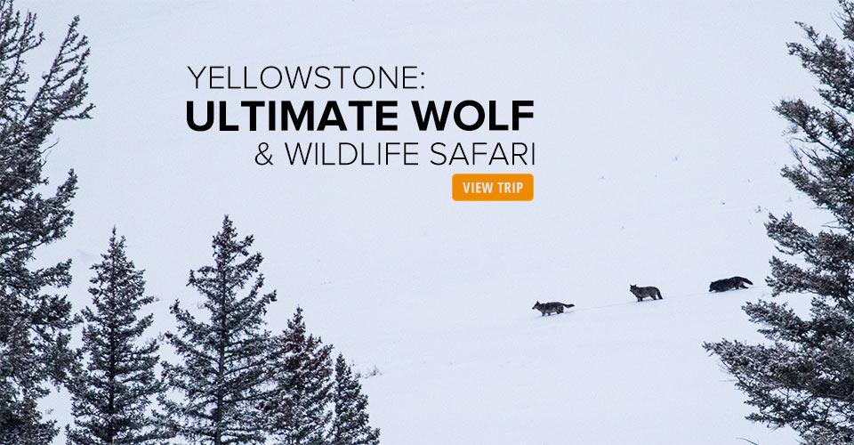 Wolves, Lamar Vallery, Wyoming