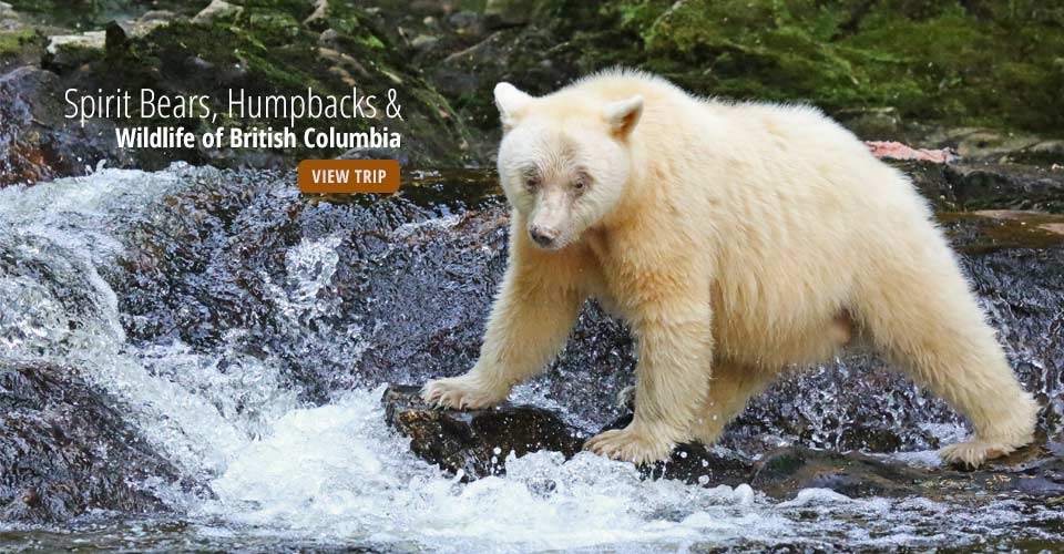 Kermode (Spirit) bear, Inside Passage, British Columbia, Canada