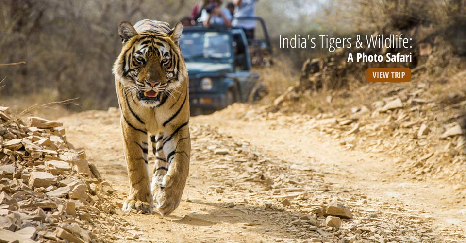 Bengal tiger, Ranthambore National Park, India