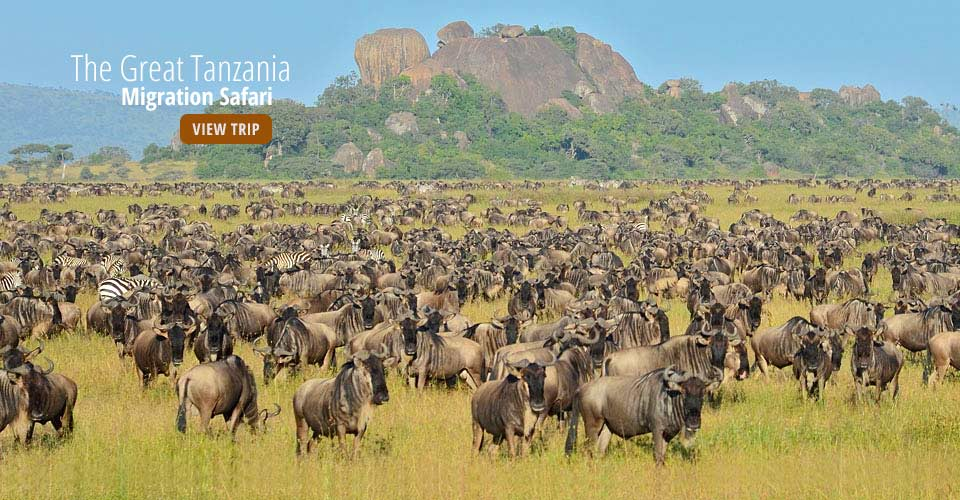 Wildebeest migration, Serengeti National Park, Tanzania