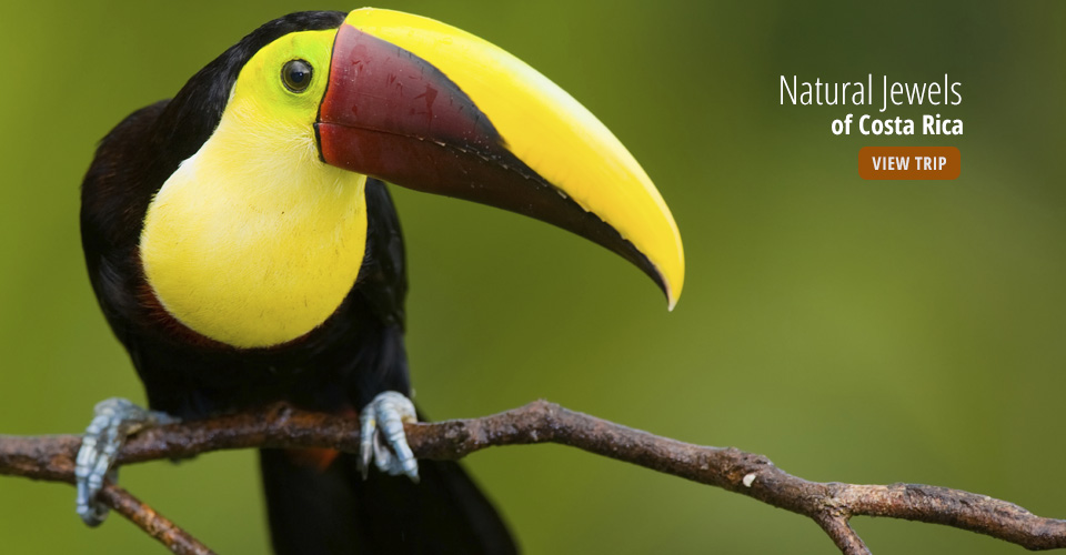 Keel-billed toucan, Tortuguero National Park, Costa Rica