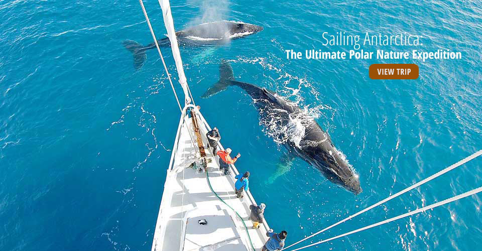Humpback whales & the S/V Australis, Dallmann Bay, Antarctica