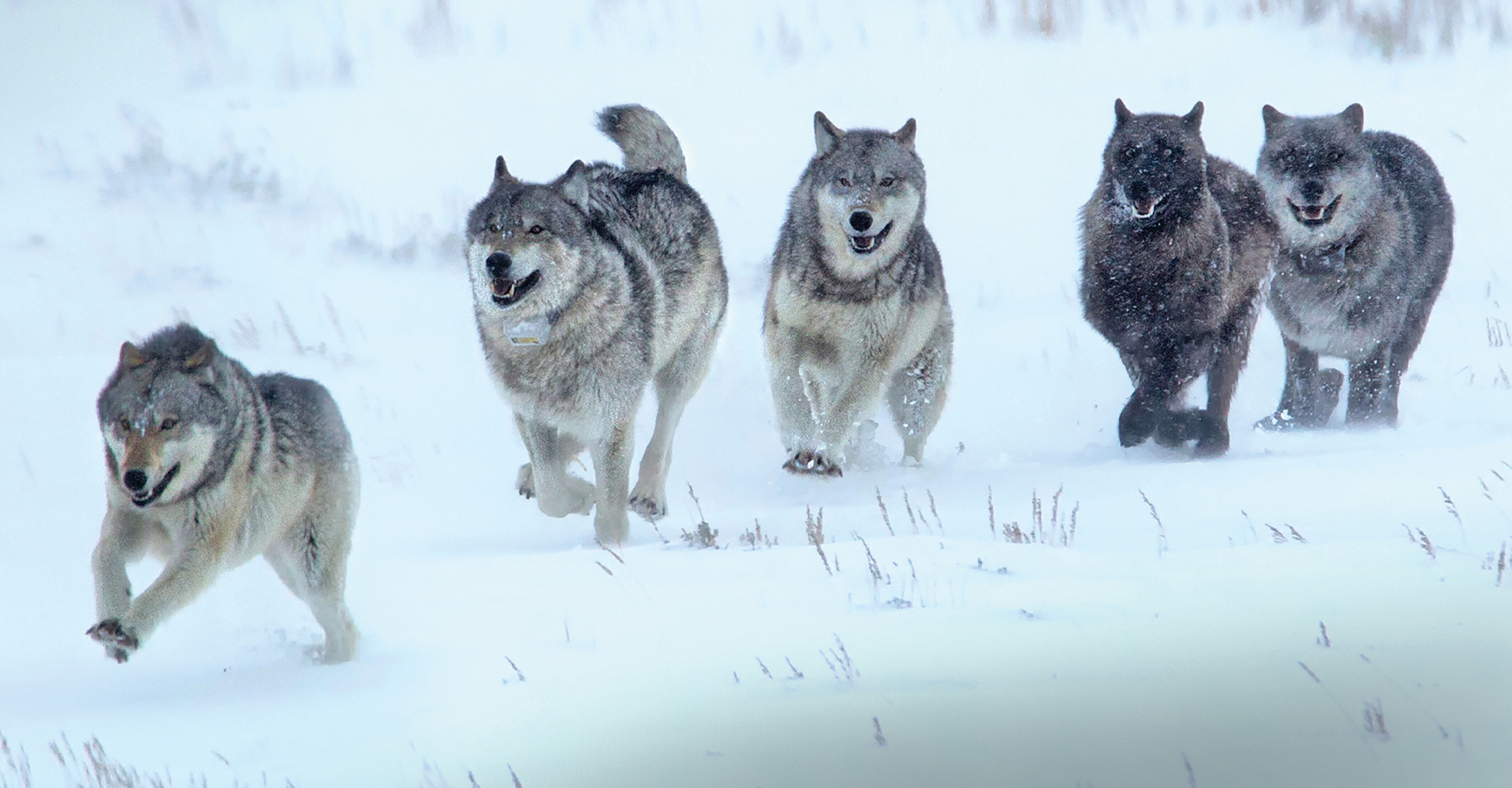 Yellowstone Wolves & Wildlife: A Photo Pro Expedition