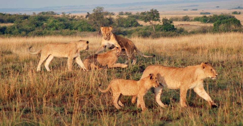 Maasai lions, Maasai Mara National Reserve, Kenya