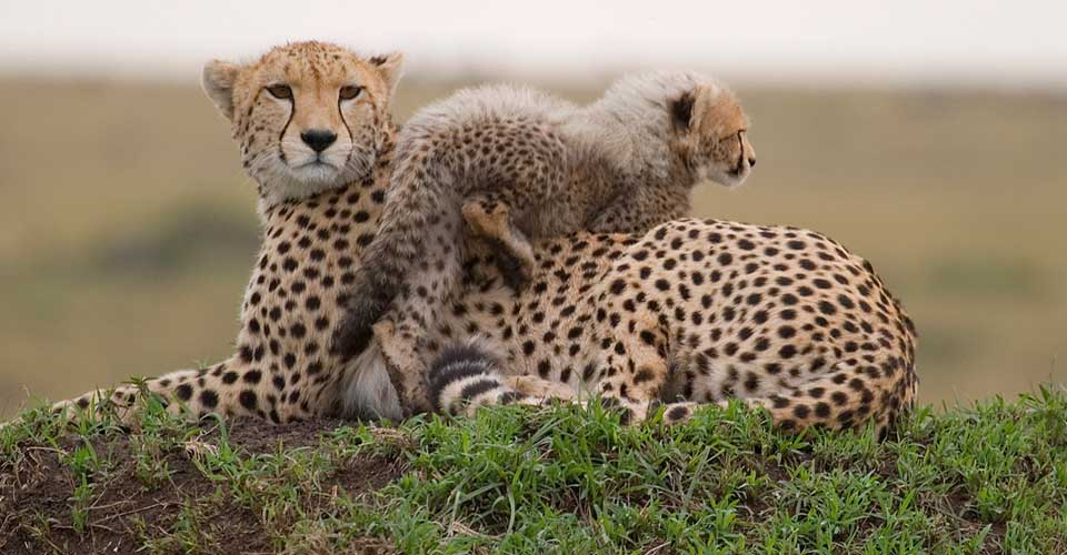 African cheetah, Maasai Mara National Reserve, Kenya