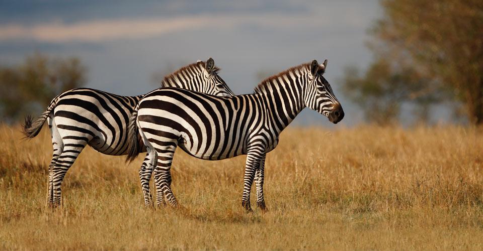 Burchell's zebra, Maasai Mara National Reserve, Kenya