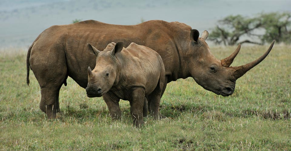 White rhinos, Nairobi National Park, Kenya