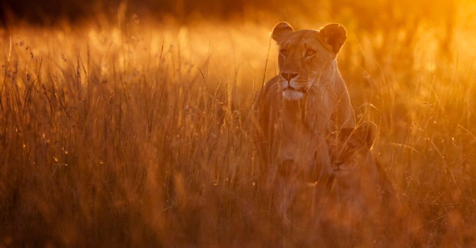 Maasai lions, Naboisho Private Conservancy, Kenya