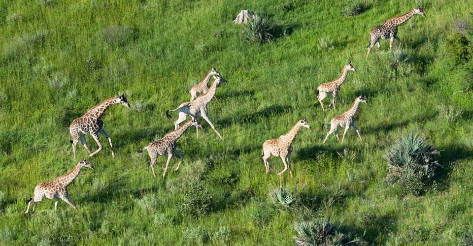 Giraffe, Chitabe Concession, Botswana