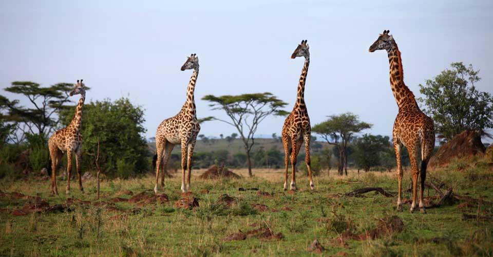 Rothschild giraffe, Murchison Falls National Park, Uganda