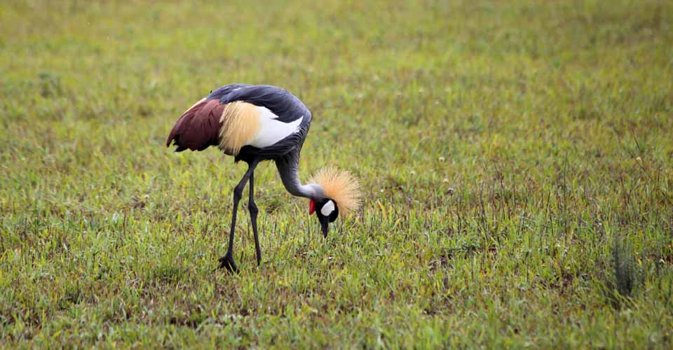 Grey crowned crane, Queen Elizabeth National Park, Uganda