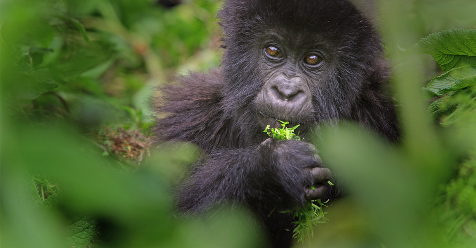 Young mountain gorilla, Bwindi Impenetrable National Park, Uganda