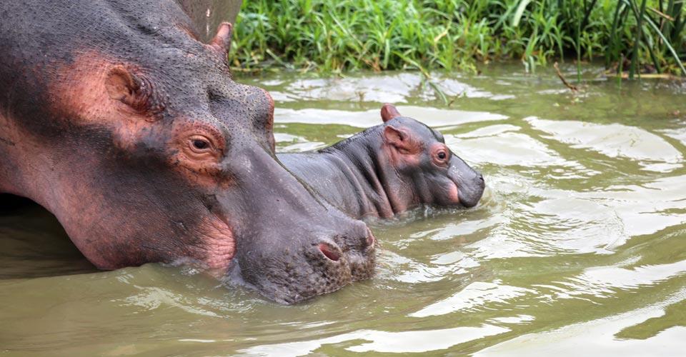 Hippopotamus, Queen Elizabeth National Park, Uganda