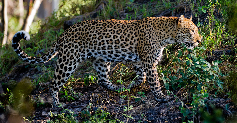 African leopard, Hunda Island, Okavango Delta, Botswana