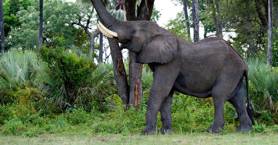 African elephant, Hunda Island, Okavango Delta, Botswana