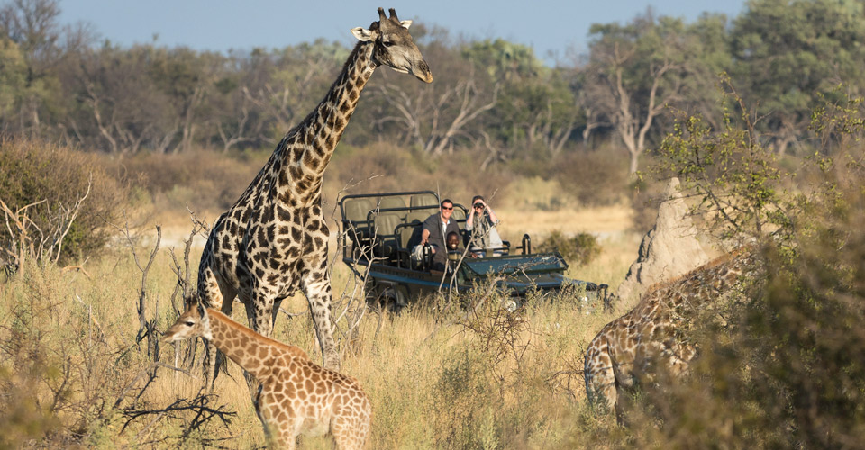 Southern giraffe, Hunda Island, Okavango Delta, Botswana