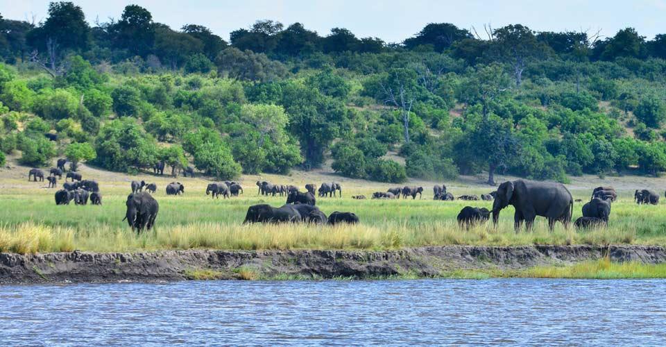 African Elephant, Chobe River, Namibia
