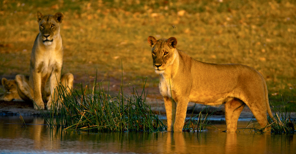 African lion, Selinda Private Reserve, Botswana