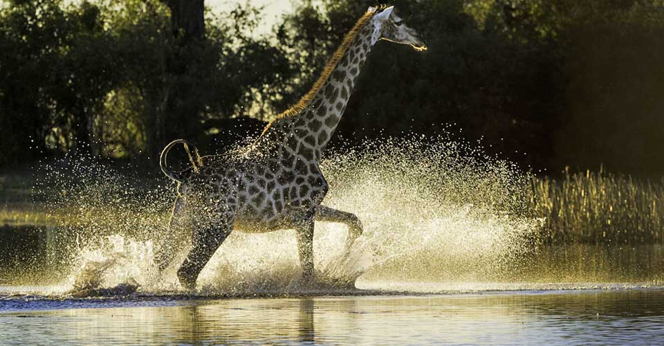 Angolan giraffe, Linyanti Reserve, Botswana