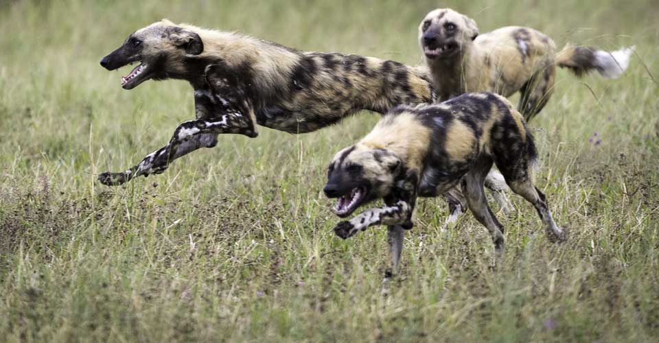 African wild dogs, Linyanti Reserve, Botswana