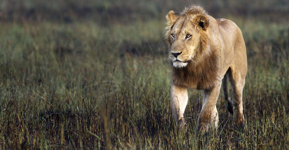 Southwest African lion, Okavango Delta, Botswana