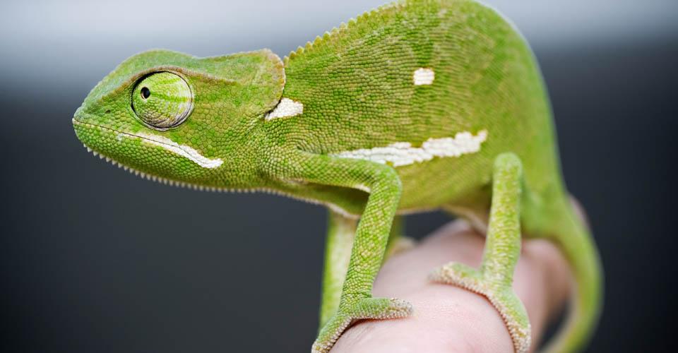 Flap-necked chameleon, Sabi Sand Game Reserve, South Africa