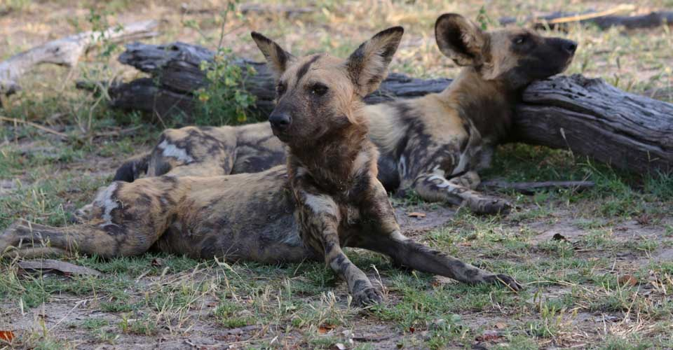 African wild dog, Madikwe Game Reserve, South Africa