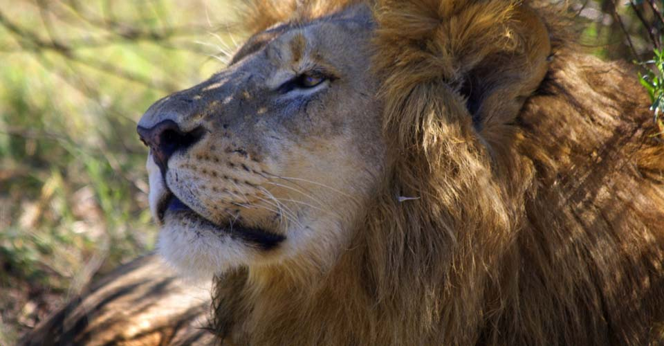 Southeast African lion, Greater Kruger Park, South Africa